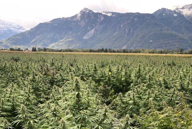 Swiss CBD Hemp Plantation